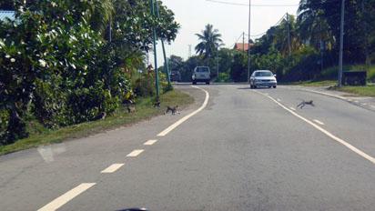 Monkeys crossing the road
