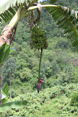 One of many banana trees in the jungle