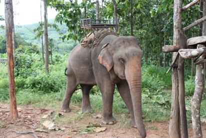 Elephant approaching human loading area