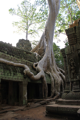 Ancient tree growing out of temple walls