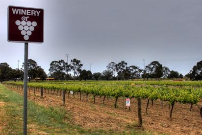 Vineyard for wine making