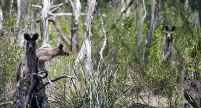 wild-kangaroos