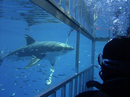 Shark Diving in Cape Town